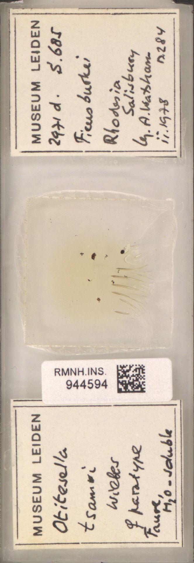 RMNH.INS.944594 | Otitesella tsamvi Wiebes