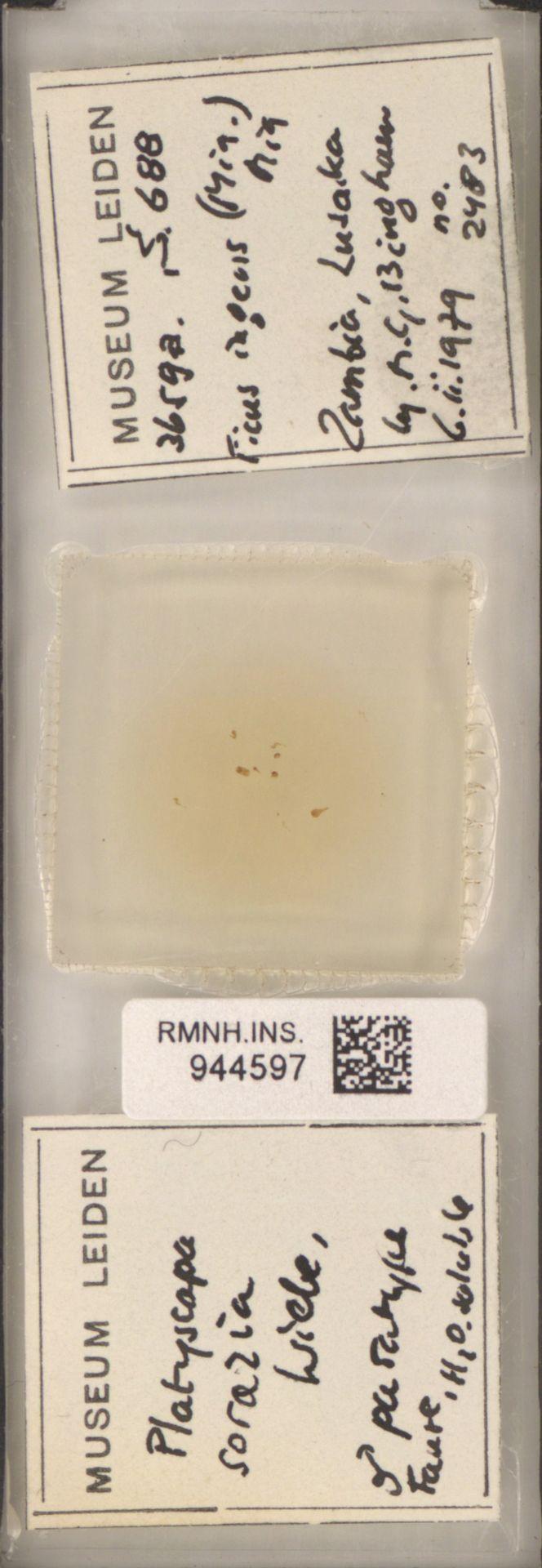 RMNH.INS.944597 | Platyscapa soraria Wiebes