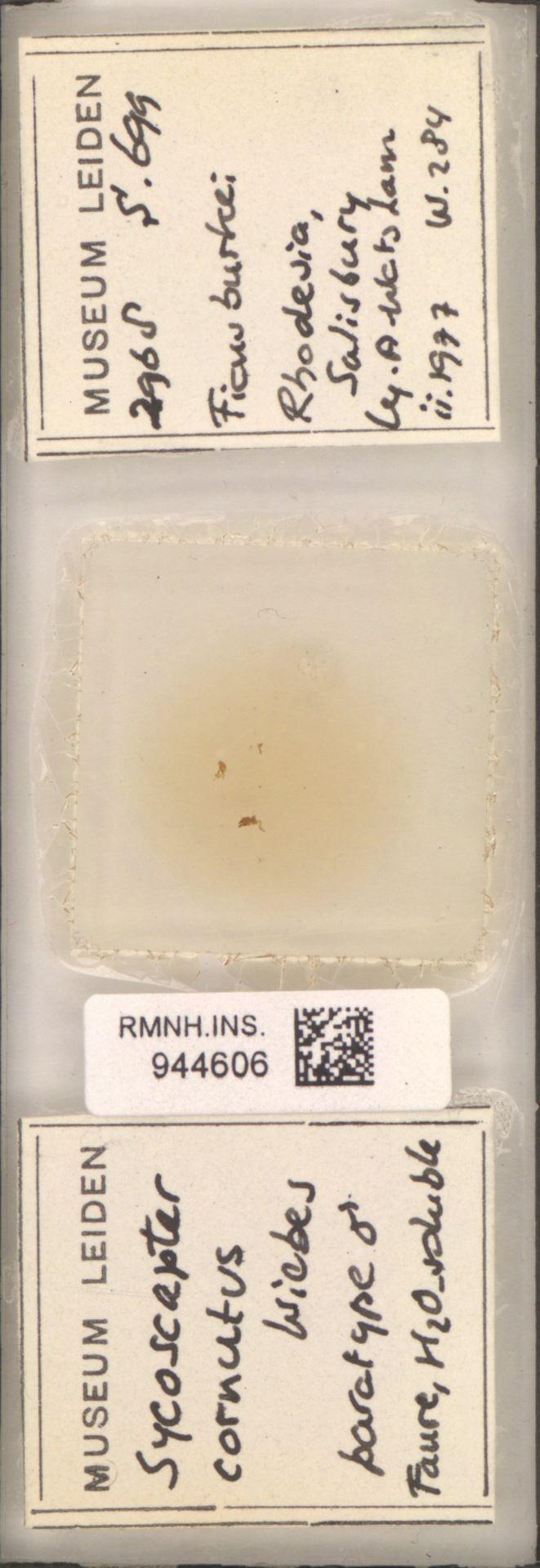 RMNH.INS.944606 | Sycoscapter cornutus Wiebes