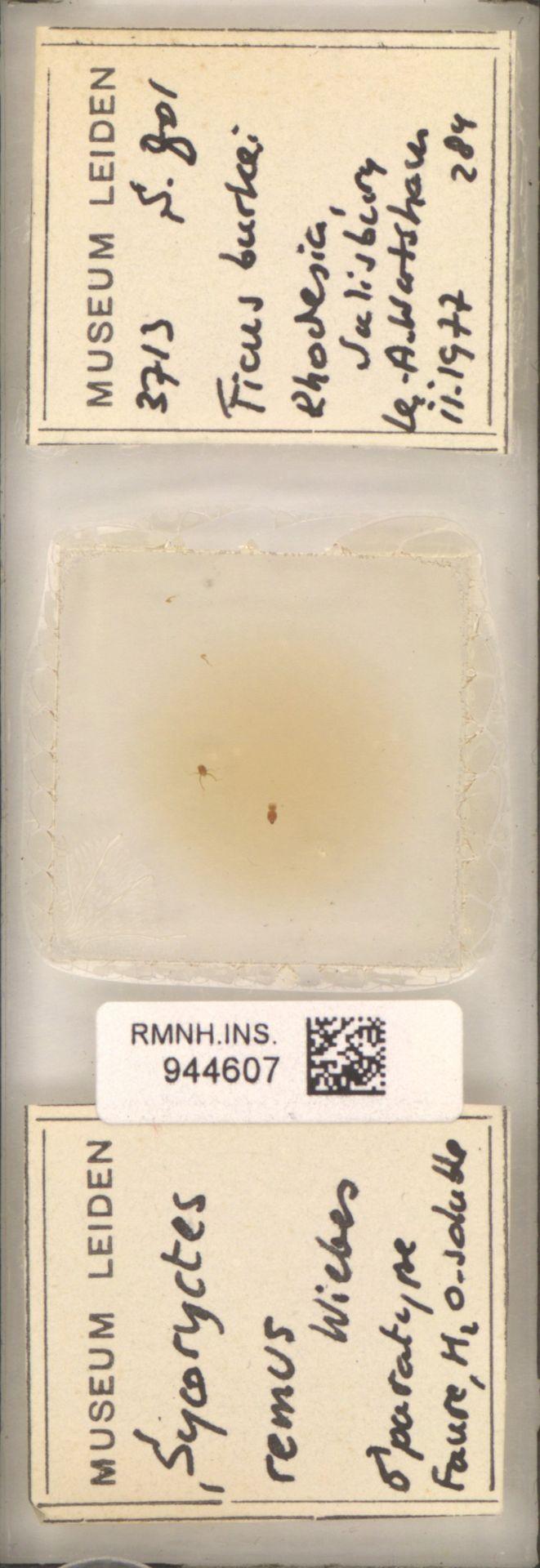 RMNH.INS.944607 | Sycoryctes remus Wiebes