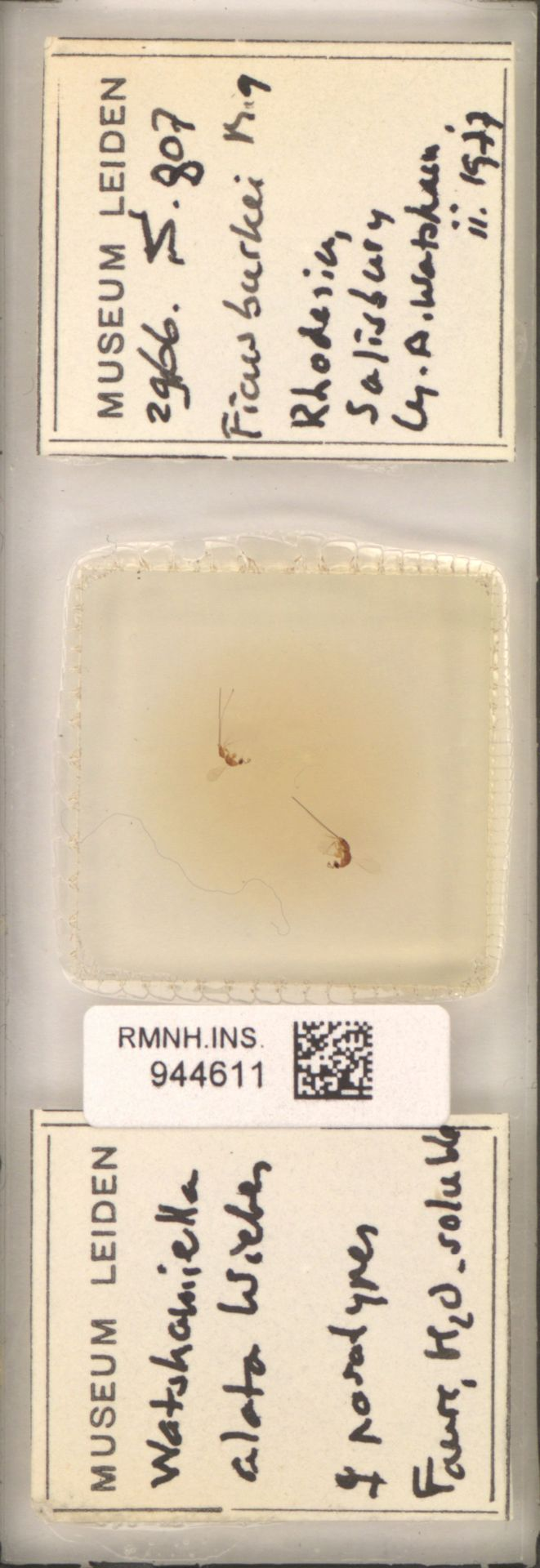 RMNH.INS.944611   Watshamiella alata Wiebes