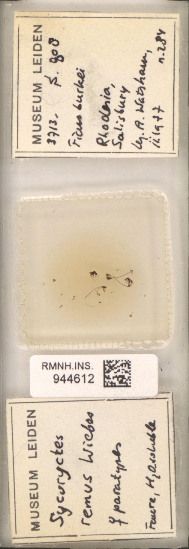 RMNH.INS.944612 | Sycor remus Wiebes