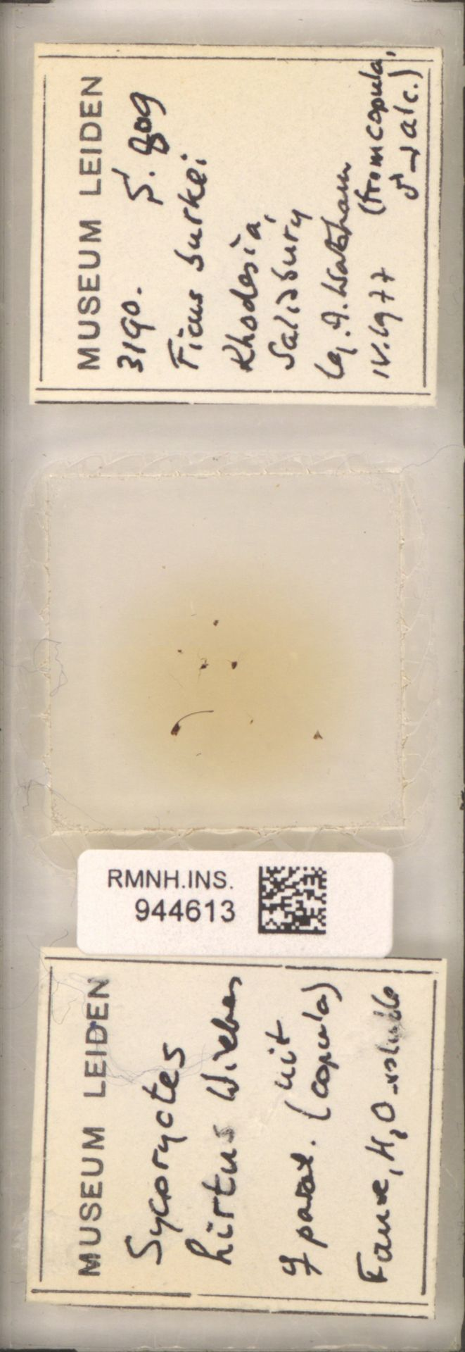 RMNH.INS.944613 | Sycoryctes hirtus Wiebes