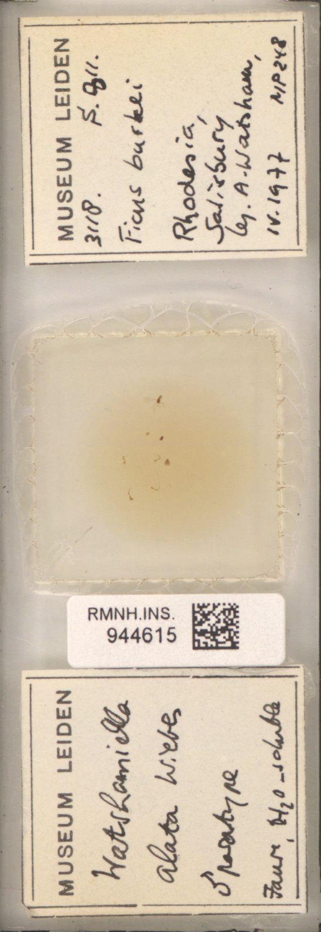 RMNH.INS.944615 | Watshamiella alata Wiebes