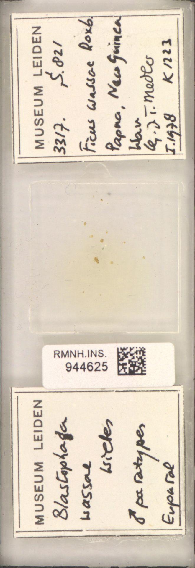 RMNH.INS.944625 | Blastophaga wassae Wiebes
