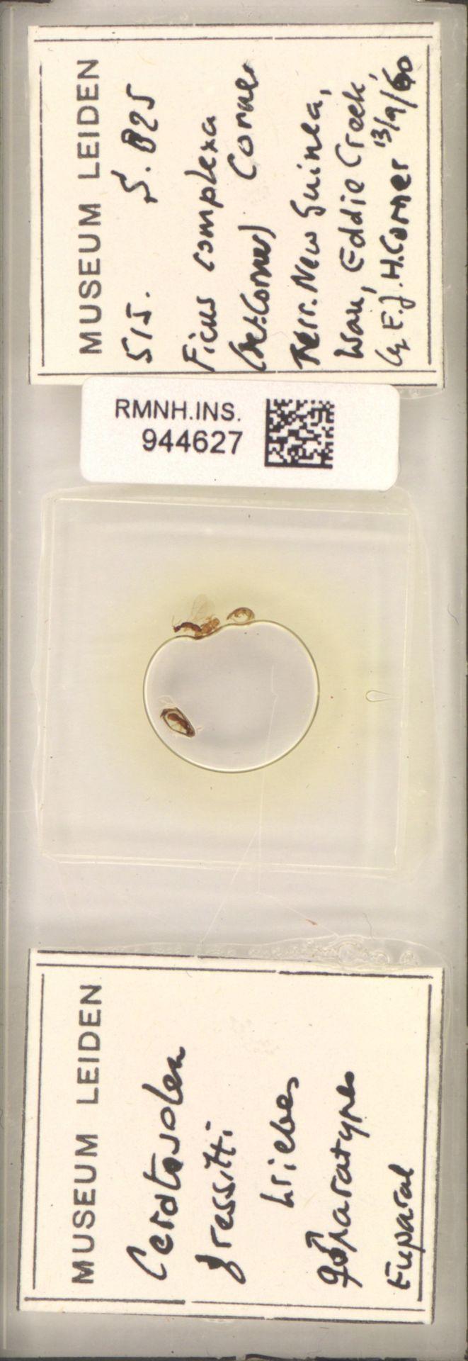 RMNH.INS.944627 | Ceratosolen gerssitti Wiebes