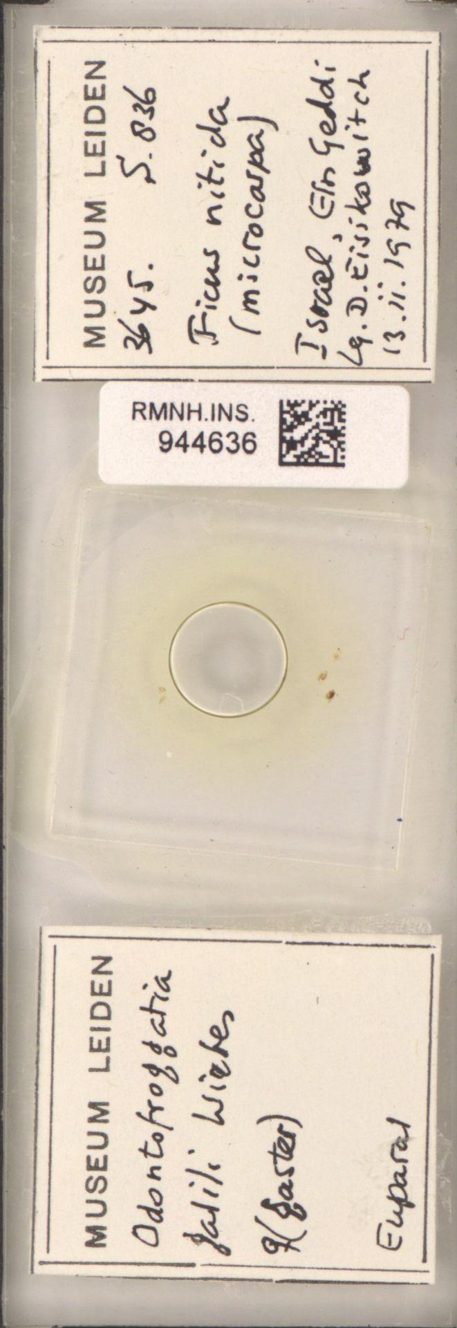 RMNH.INS.944636 | Odontofroggatia galili Wiebes