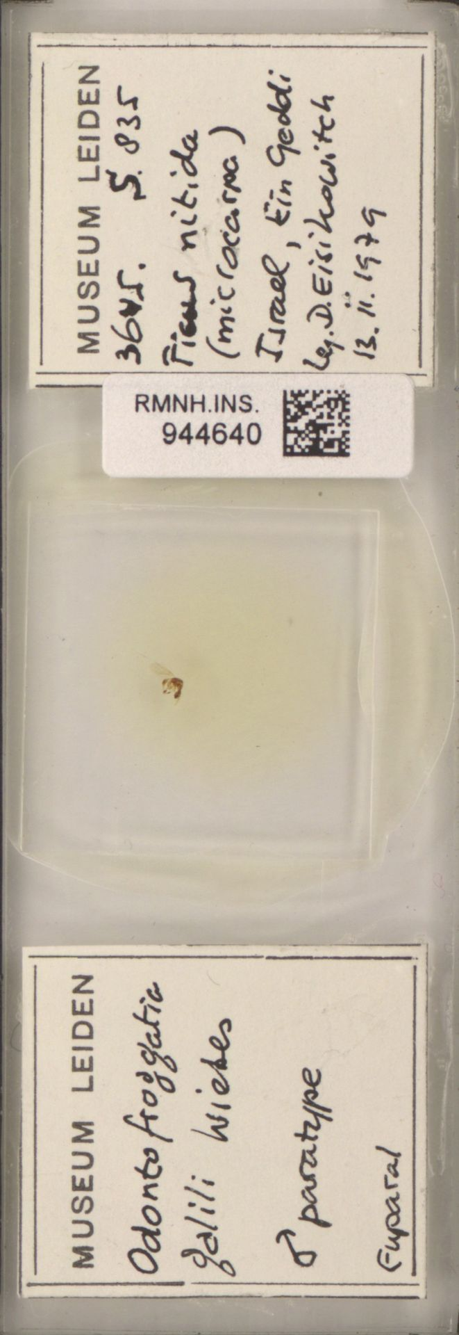 RMNH.INS.944640 | Odontofroggatia galili Wiebes