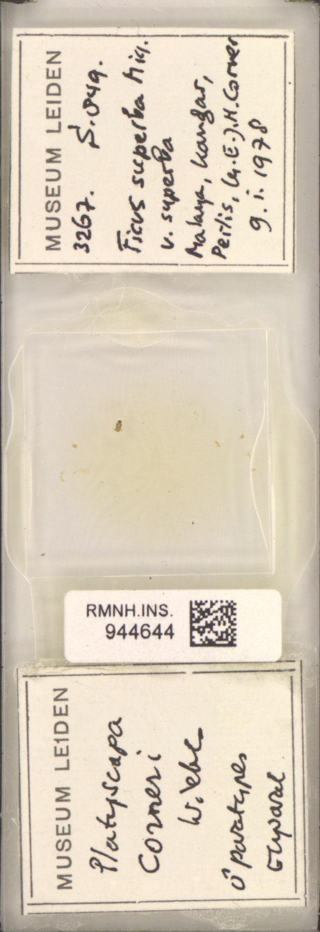 RMNH.INS.944644   Platyscapa corneri Wiebes
