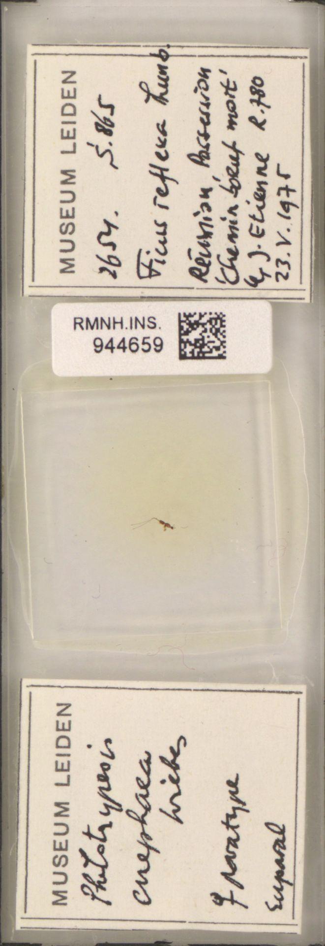 RMNH.INS.944659 | Philotrypesis enephaea Wiebes