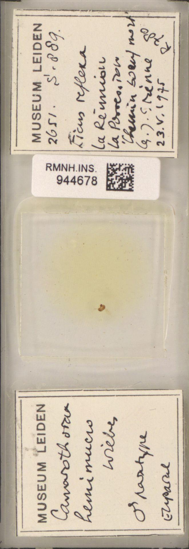 RMNH.INS.944678 | Camarothorax hemimucro Wiebes