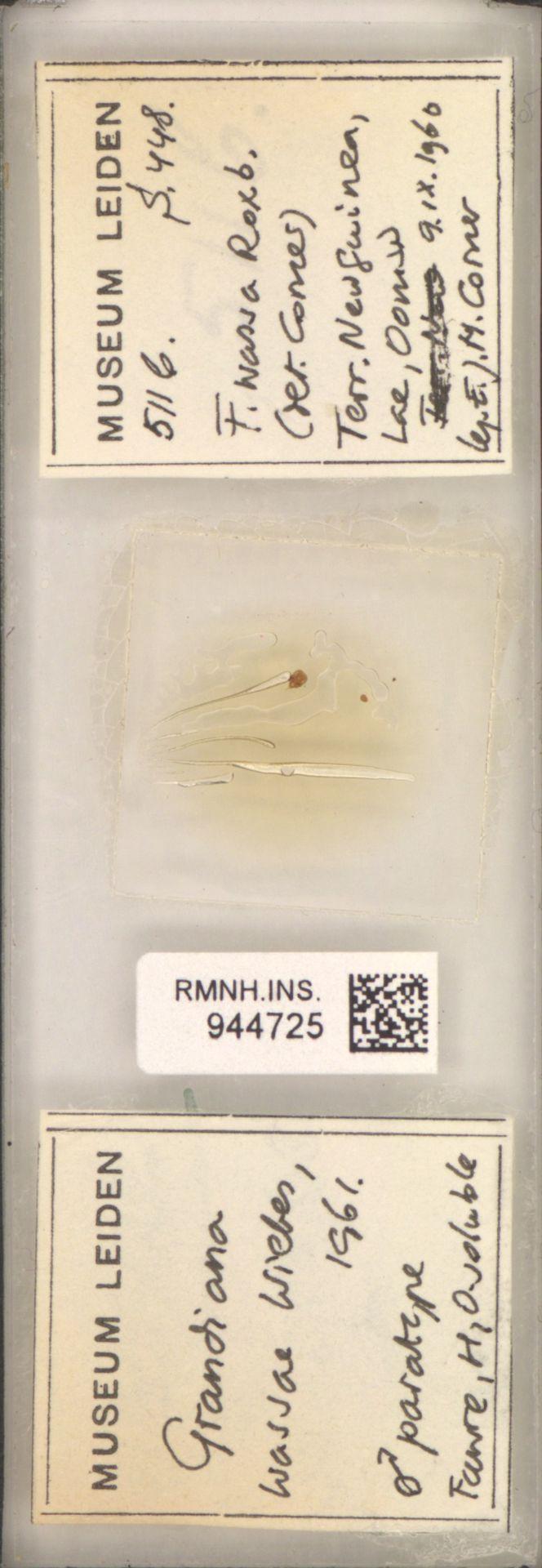 RMNH.INS.944725 | Grandiana wassae Wiebes, 1961