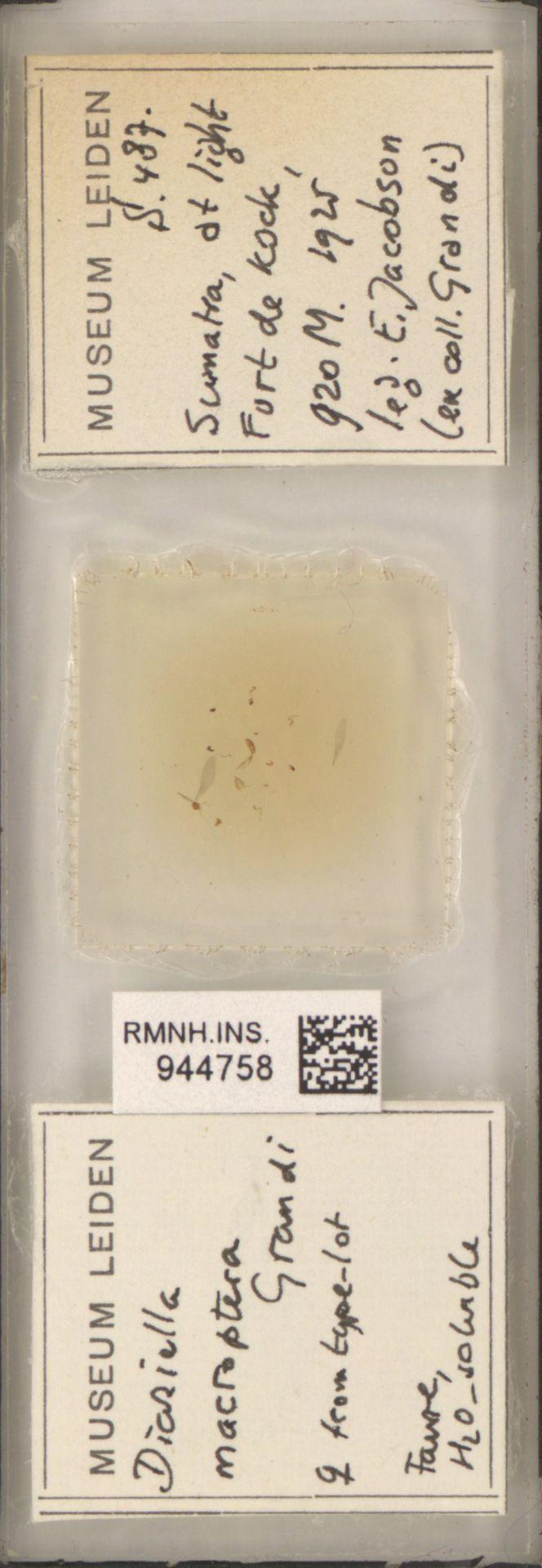 RMNH.INS.944758 | Diaziella macroptera Grandi