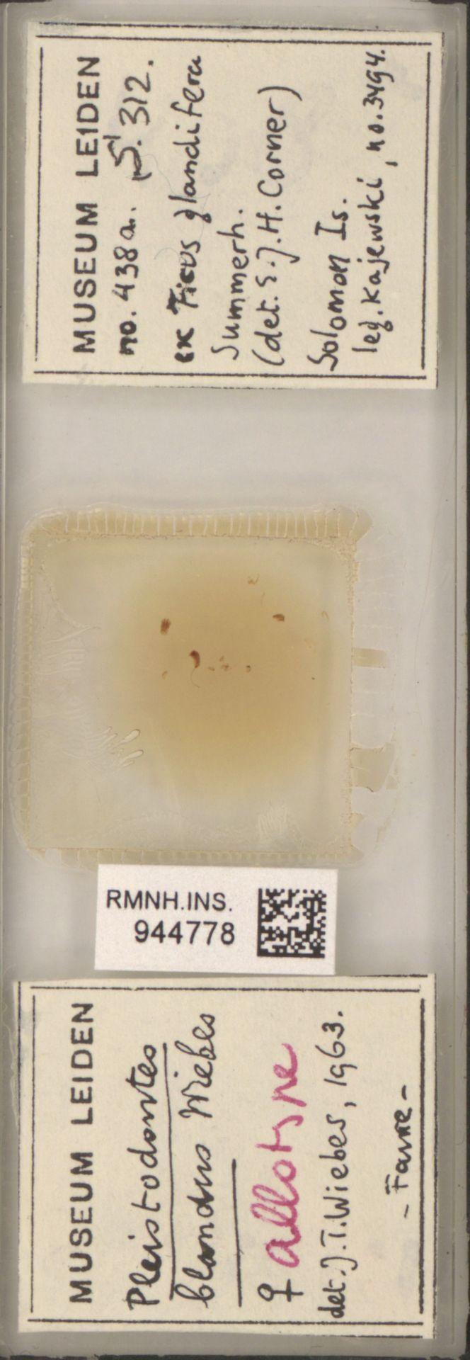 RMNH.INS.944778   Pleistodontes blandus Wiebes