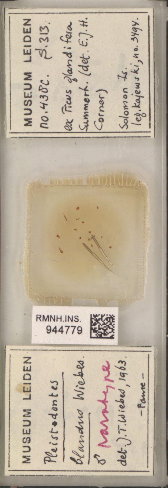 RMNH.INS.944779 | Pleistodontes blandus Wiebes