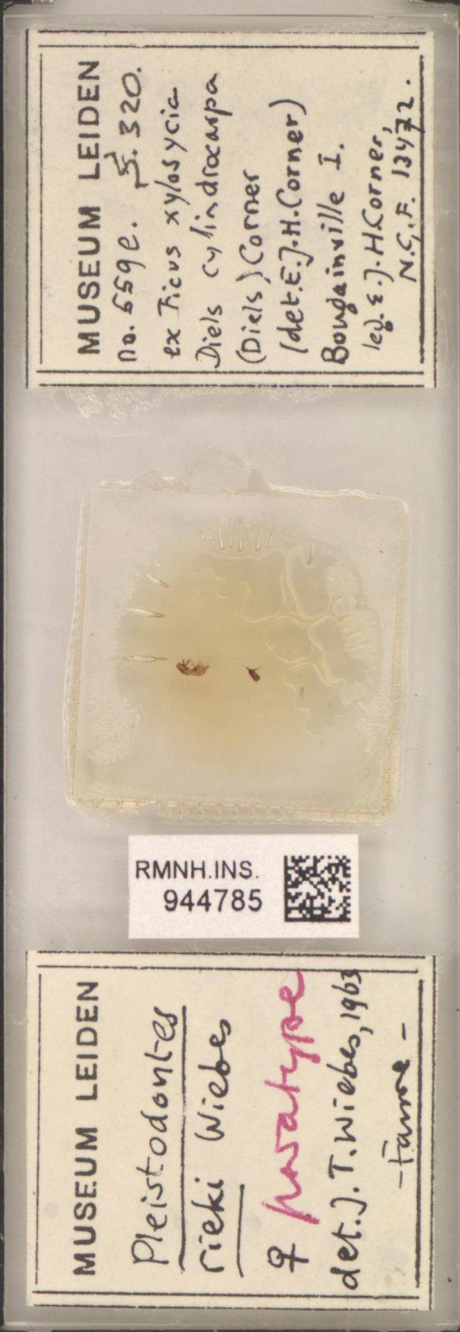 RMNH.INS.944785 | Pleistodontes rieki Wiebes