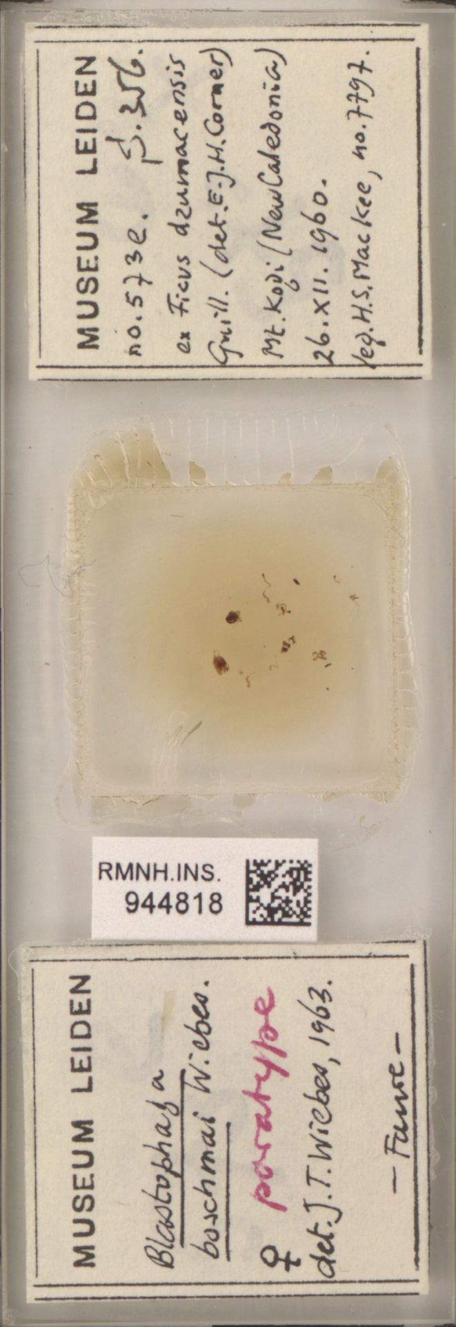 RMNH.INS.944818 | Blastophaga boschmai Wiebes