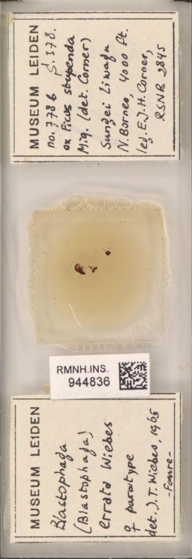 RMNH.INS.944836 | Blastophaga (Blastophaga) errata Wiebes