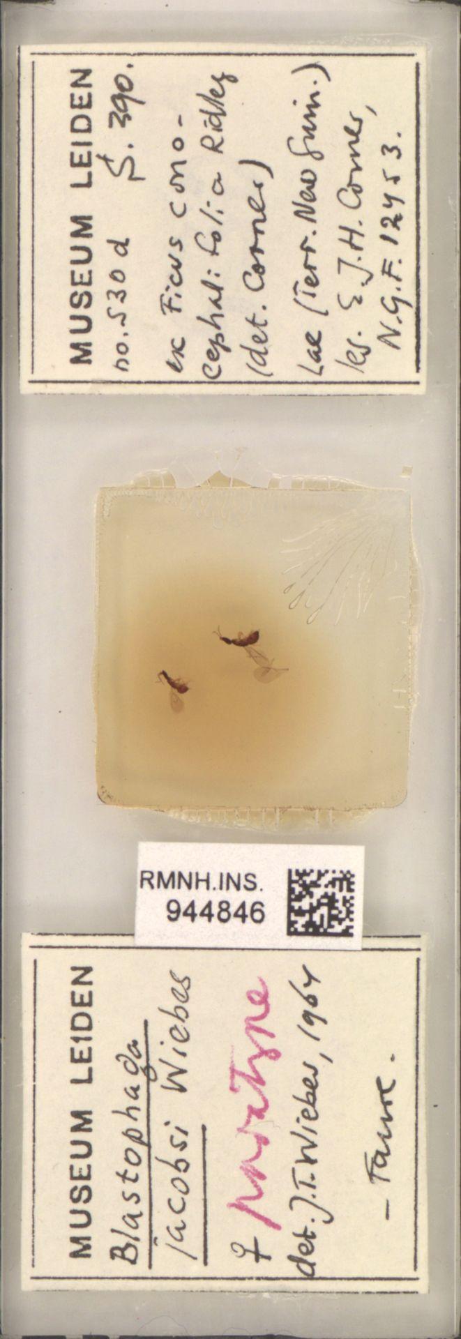 RMNH.INS.944846 | Blastophaga jacobsi Wiebes