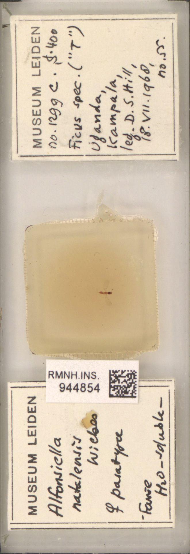 RMNH.INS.944854   Alfonsiella natalensis Wiebes