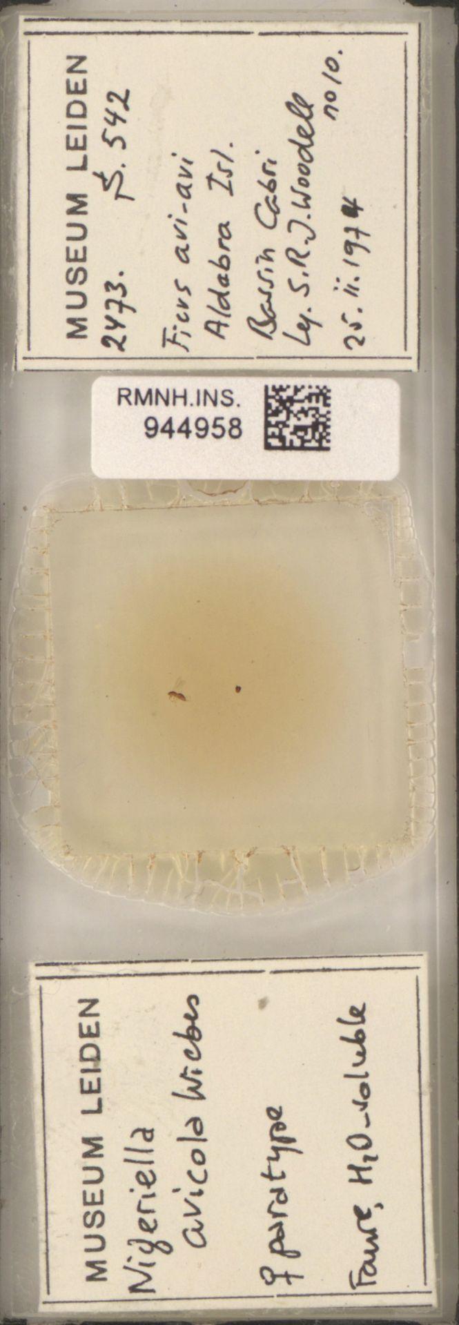 RMNH.INS.944958   Nigeriella avicola Wiebes