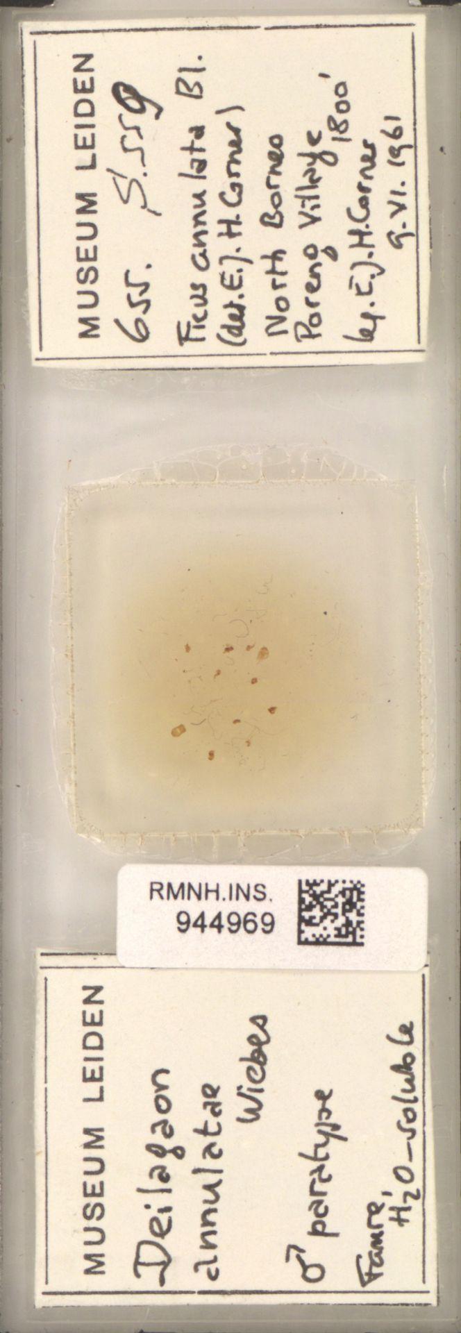 RMNH.INS.944969 | Deilagaon annulatae Wiebes