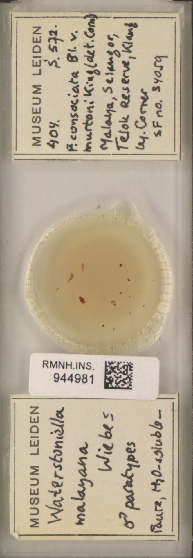 RMNH.INS.944981 | Waterstoniella malayana Wiebes