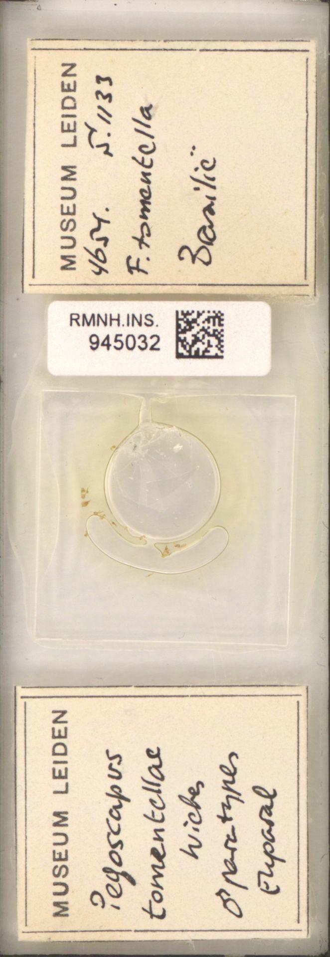 RMNH.INS.945032 | Pegoscapus tomentellae Wiebes