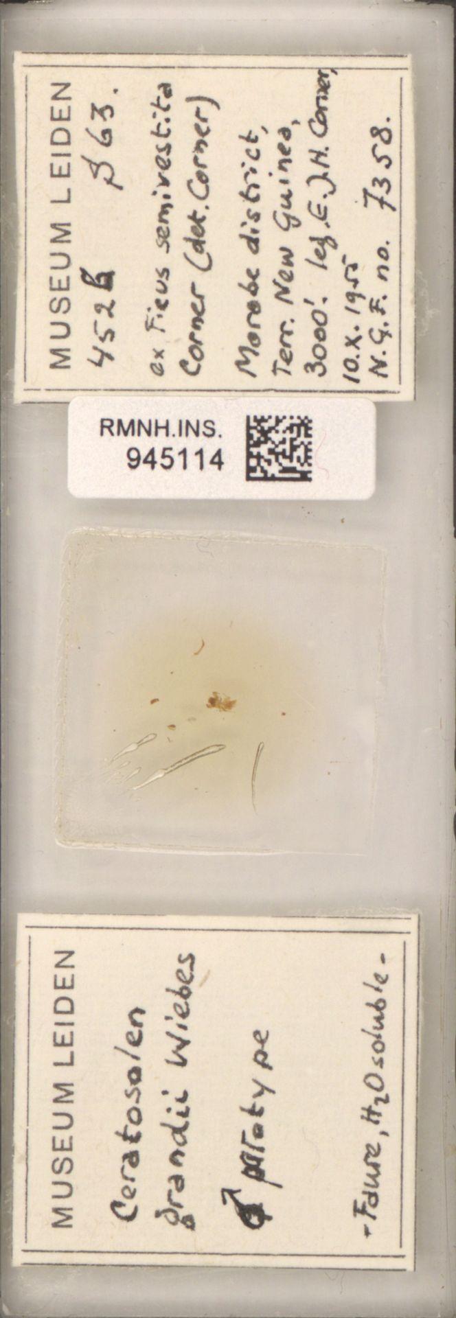 RMNH.INS.945114 | Ceratosolen grandii Wiebes