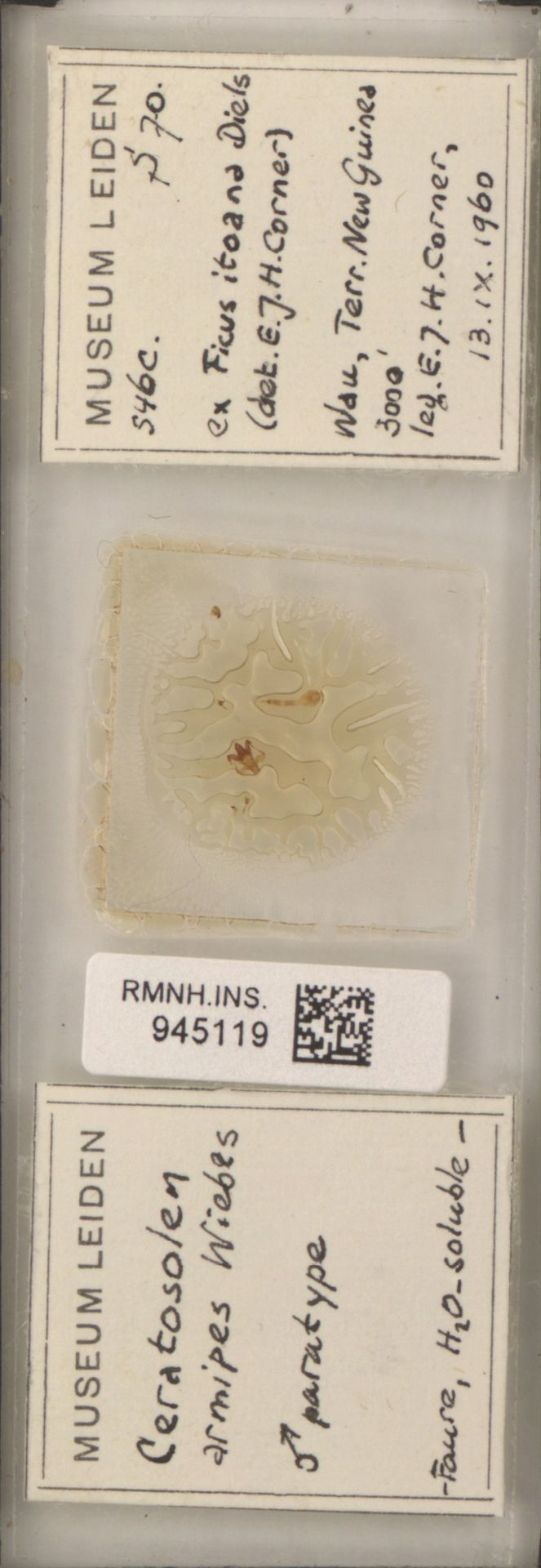 RMNH.INS.945119 | Ceratosolen armipes Wiebes
