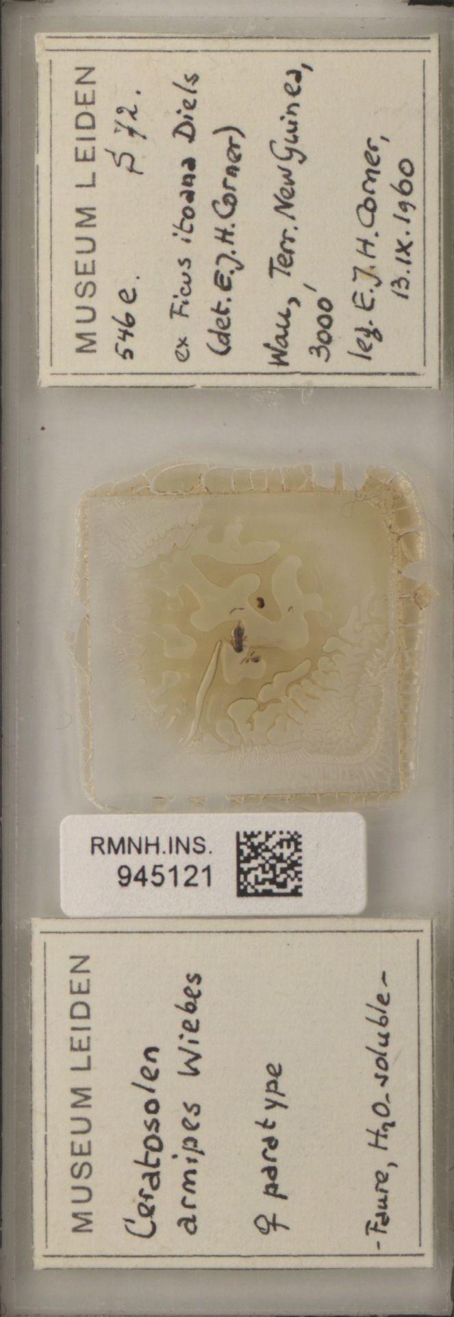 RMNH.INS.945121   Ceratosolen armipes Wiebes