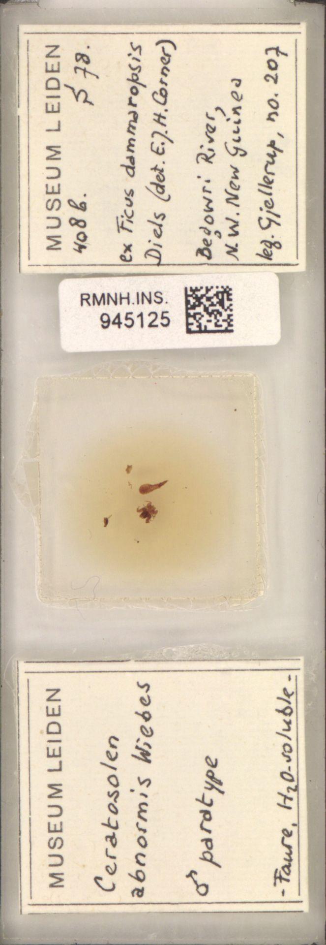 RMNH.INS.945125 | Ceratosolen abnormis Wiebes