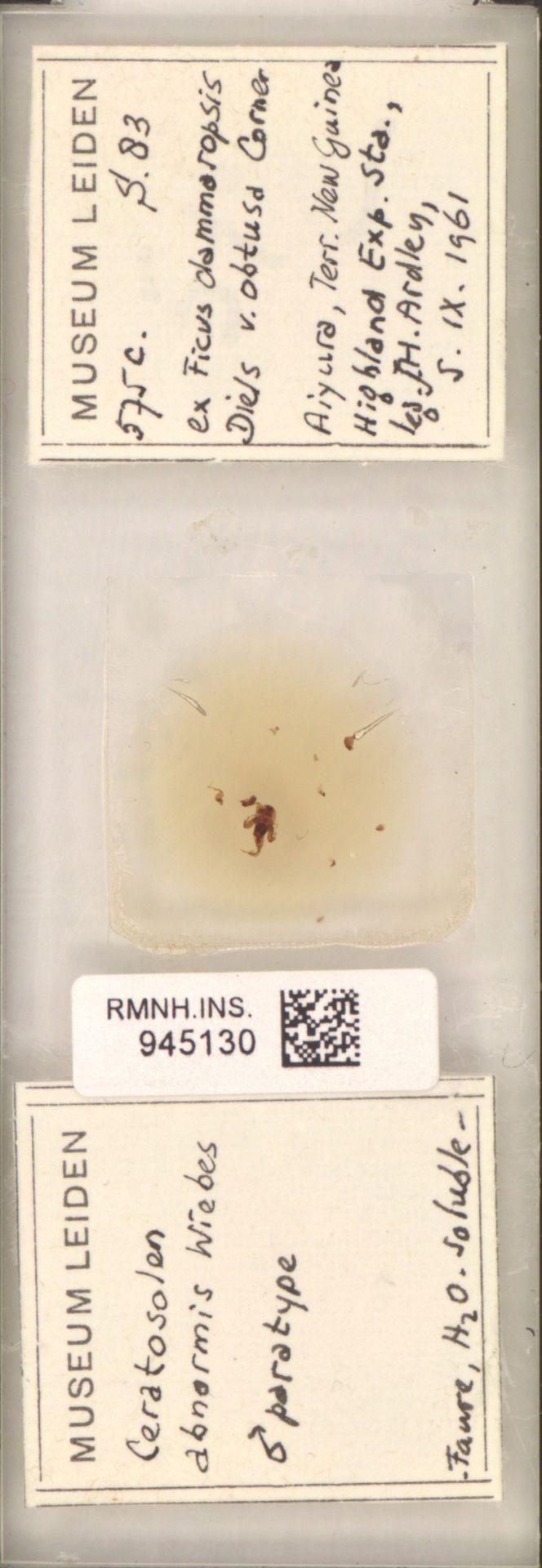 RMNH.INS.945130 | Ceratosolen abnormis Wiebes
