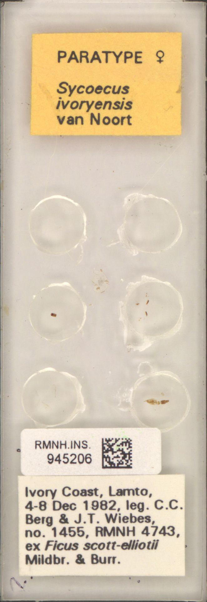RMNH.INS.945206 | Sycoecus ivoryensis van Noort