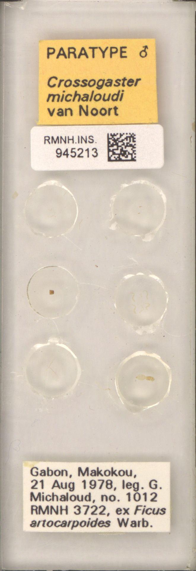 RMNH.INS.945213   Crossogaster michaloudi van Noort