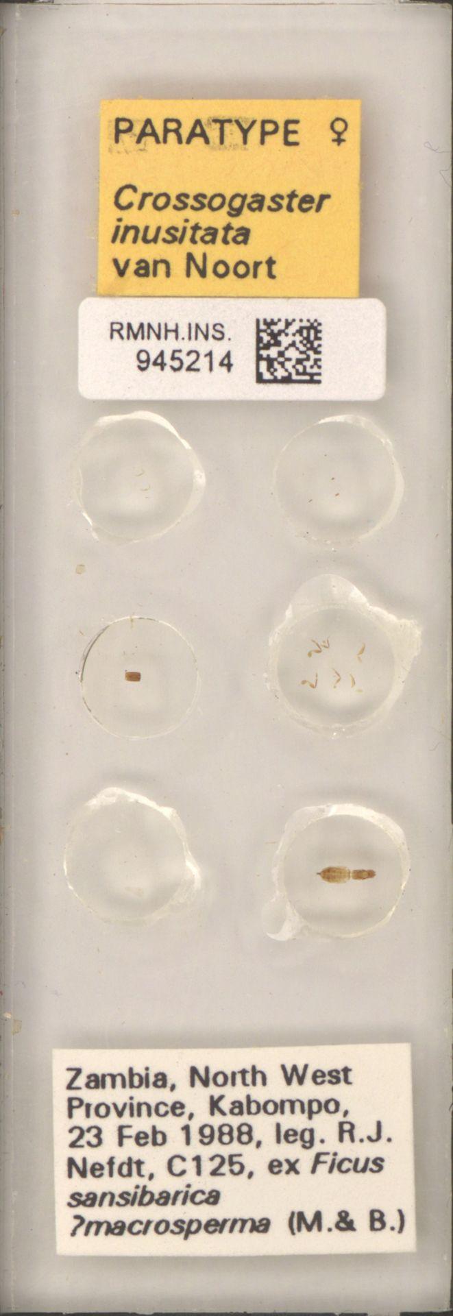 RMNH.INS.945214   Crossogaster inusitata van Noort