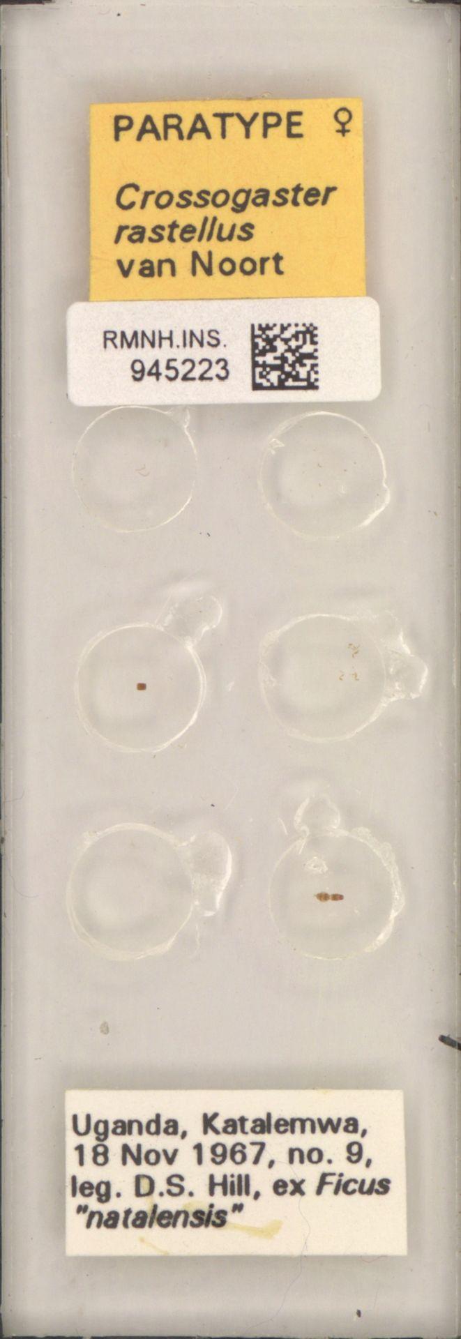 RMNH.INS.945223 | Crossogaster rastellus van Noort