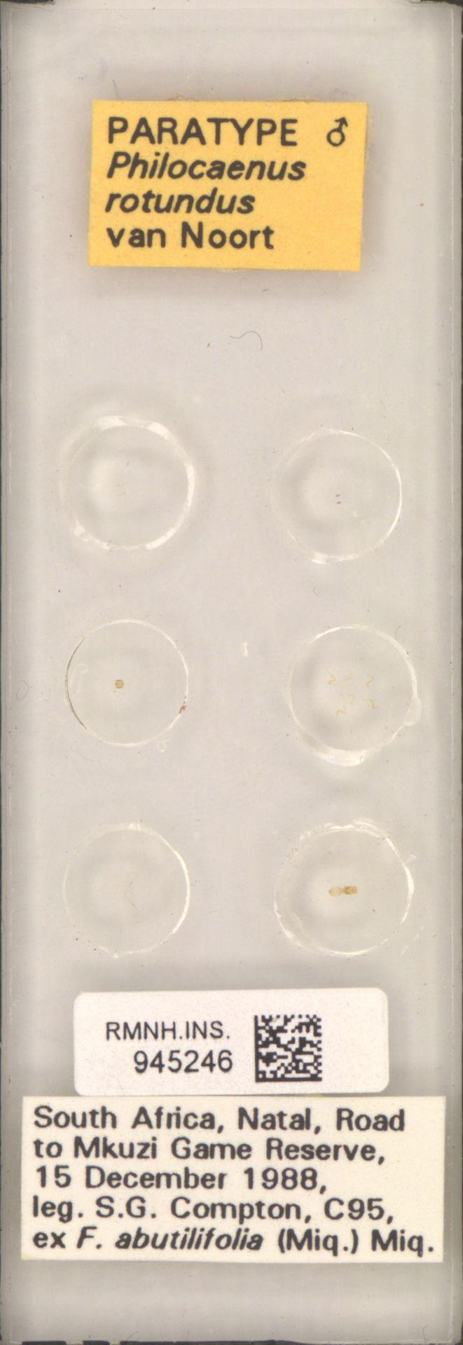RMNH.INS.945246 | Philocaenus rotundus van Noort