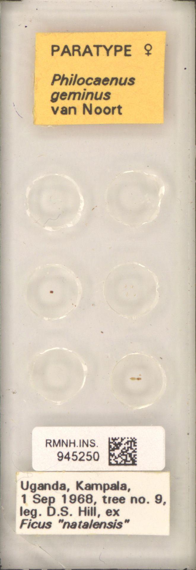 RMNH.INS.945250 | Philocaenus geminus van Noort