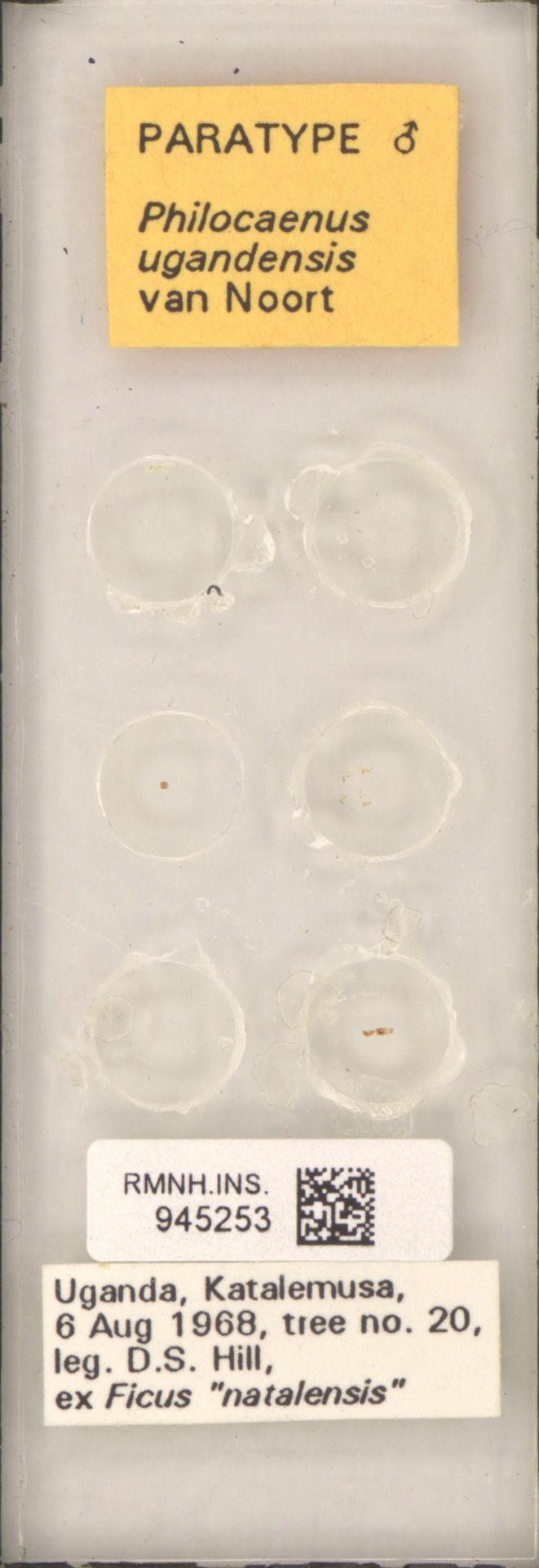 RMNH.INS.945253 | Philocaenus ugandensis van Noort