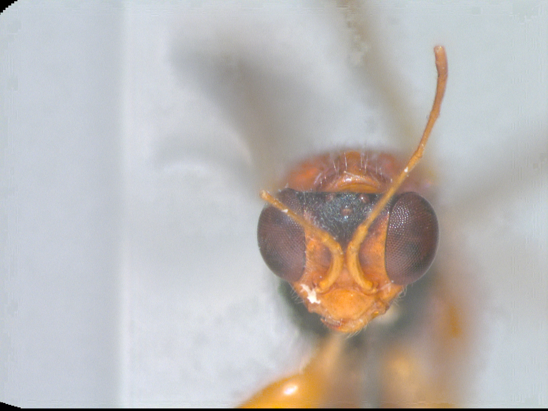 RMNH.INS.959869 | Alphadryinus rufus Olmi, 1984