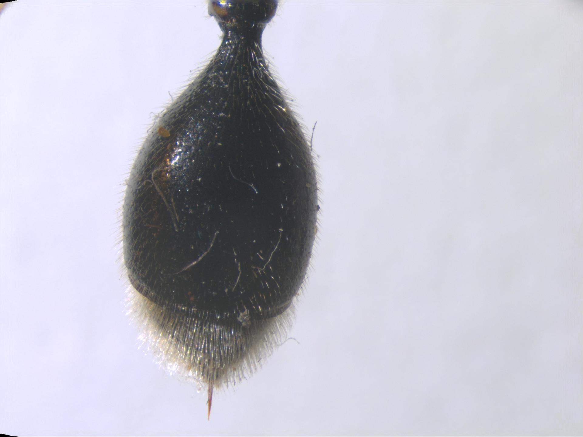 RMNH.INS.959883   Zethus albopilosus Giordani Soika, 1995