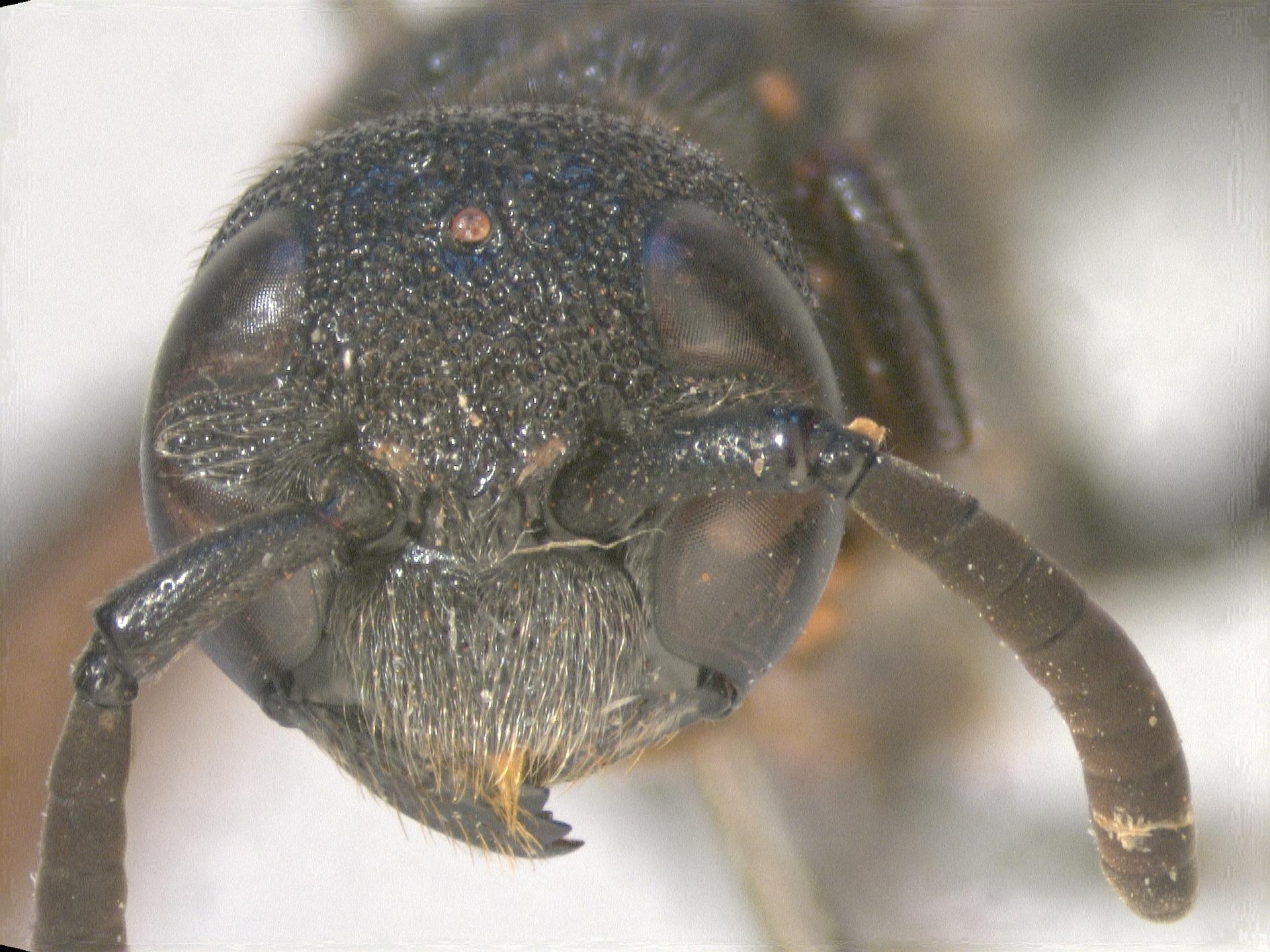 RMNH.INS.959883 | Zethus albopilosus Giordani Soika, 1995