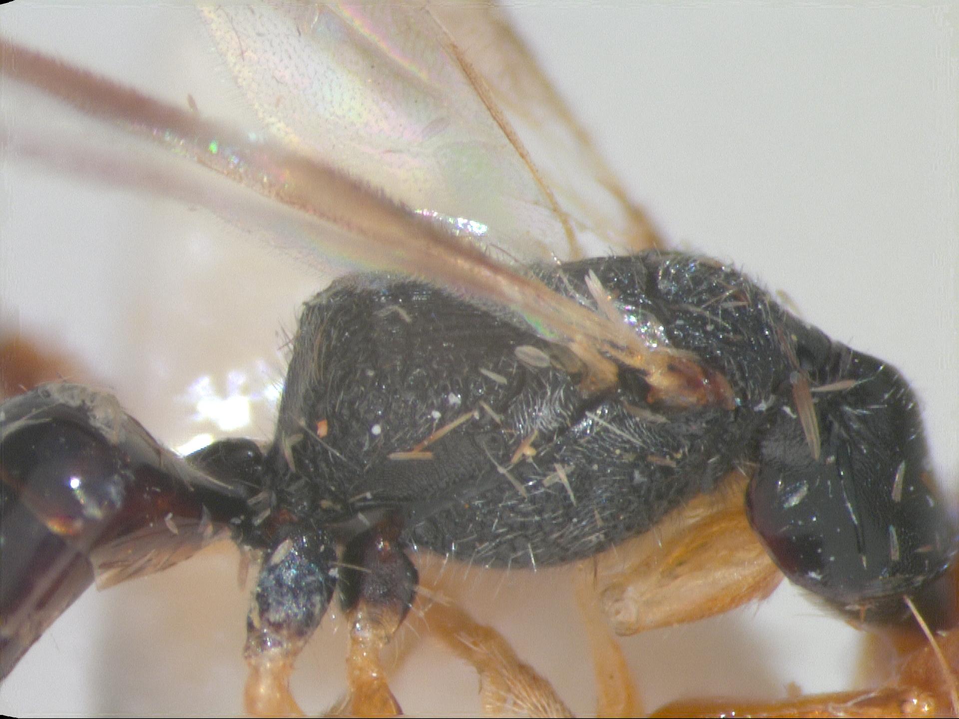 RMNH.INS.959885 | Mesodryinus forestalis Olmi, 1984