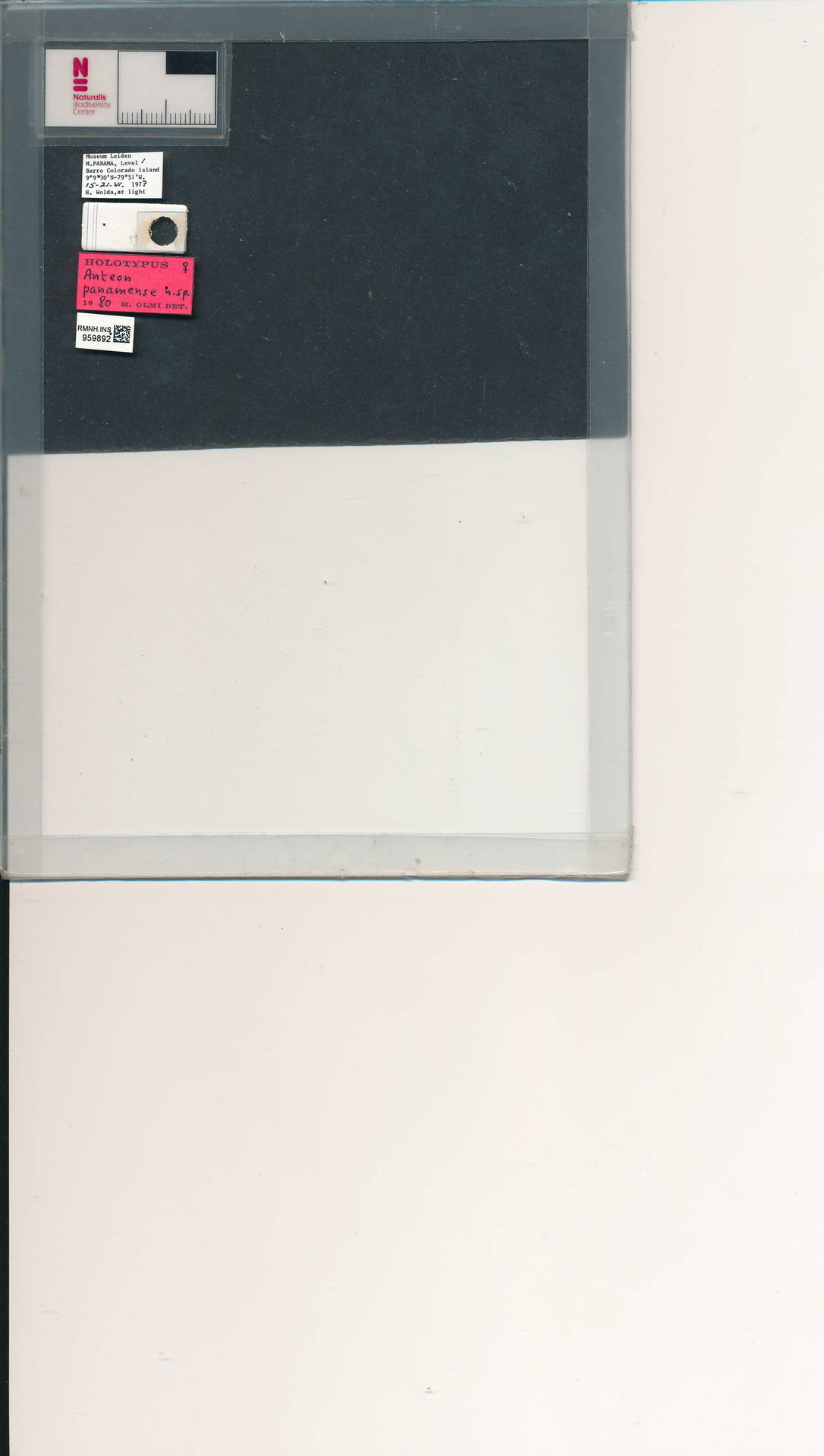 RMNH.INS.959892 | Anteon panamense Olmi, 1984