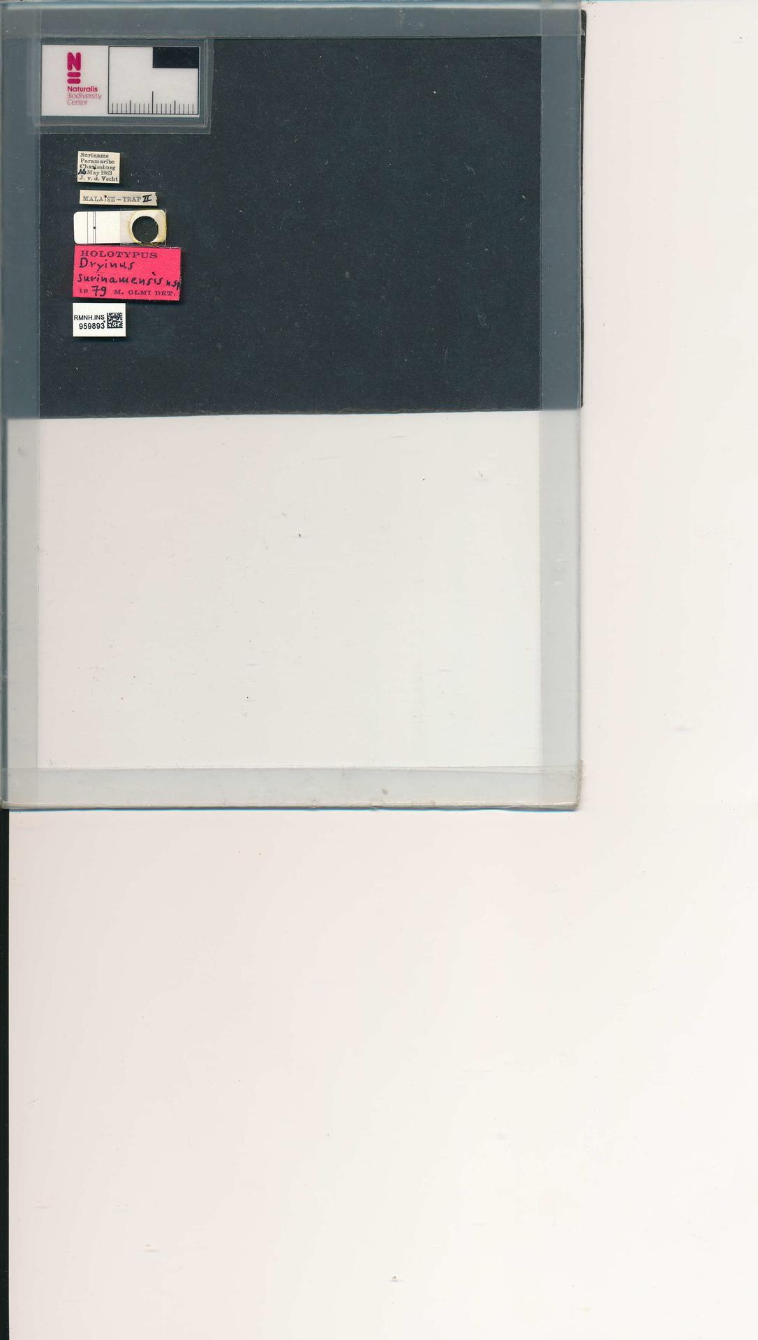RMNH.INS.959893 | Dryinus surinamensis Olmi, 1984