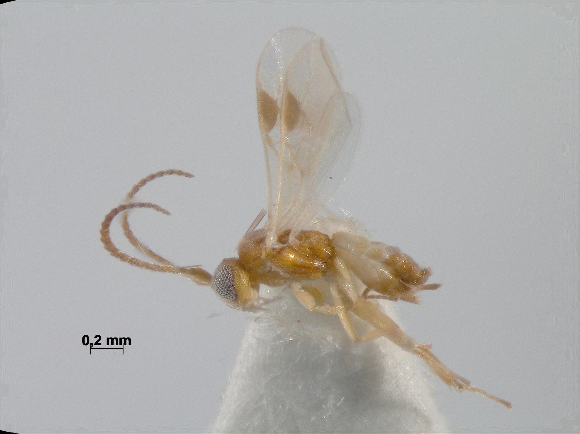 RMNH.INS.968371 | Acaelius cadmium (Papp, 2003)