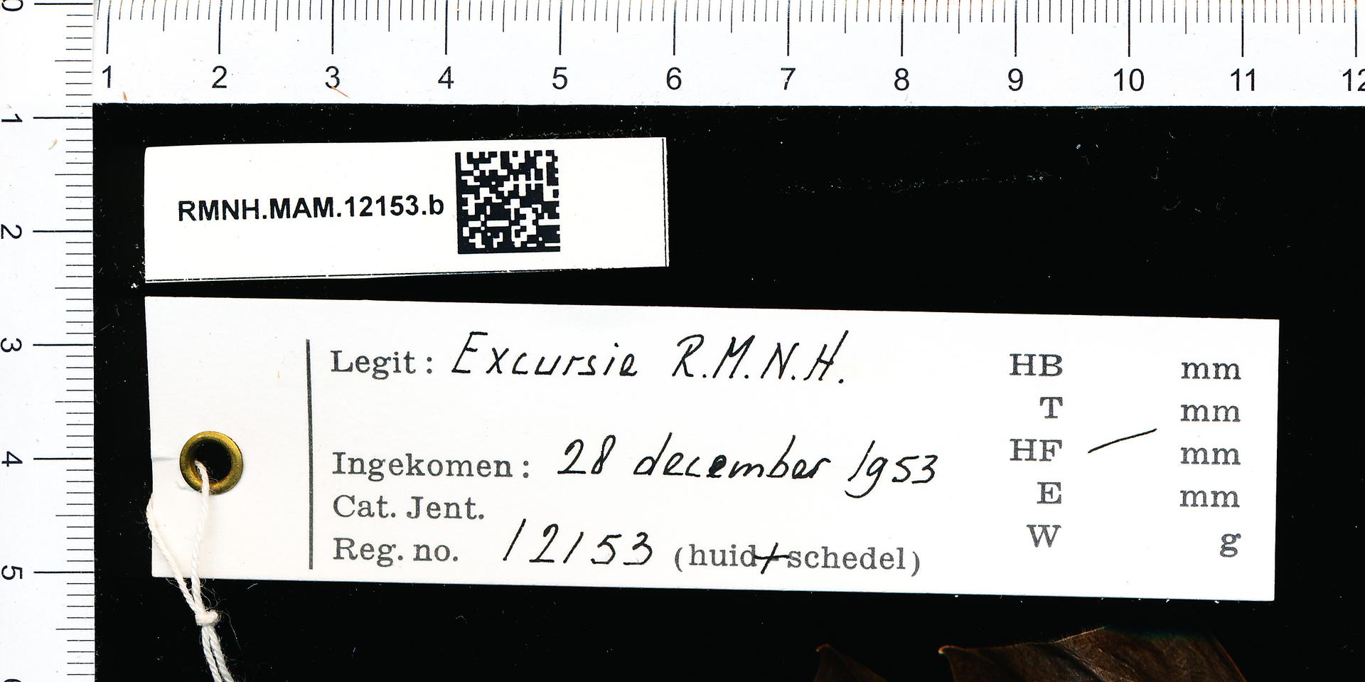 RMNH.MAM.12153.b | Rhinolophus hipposideros