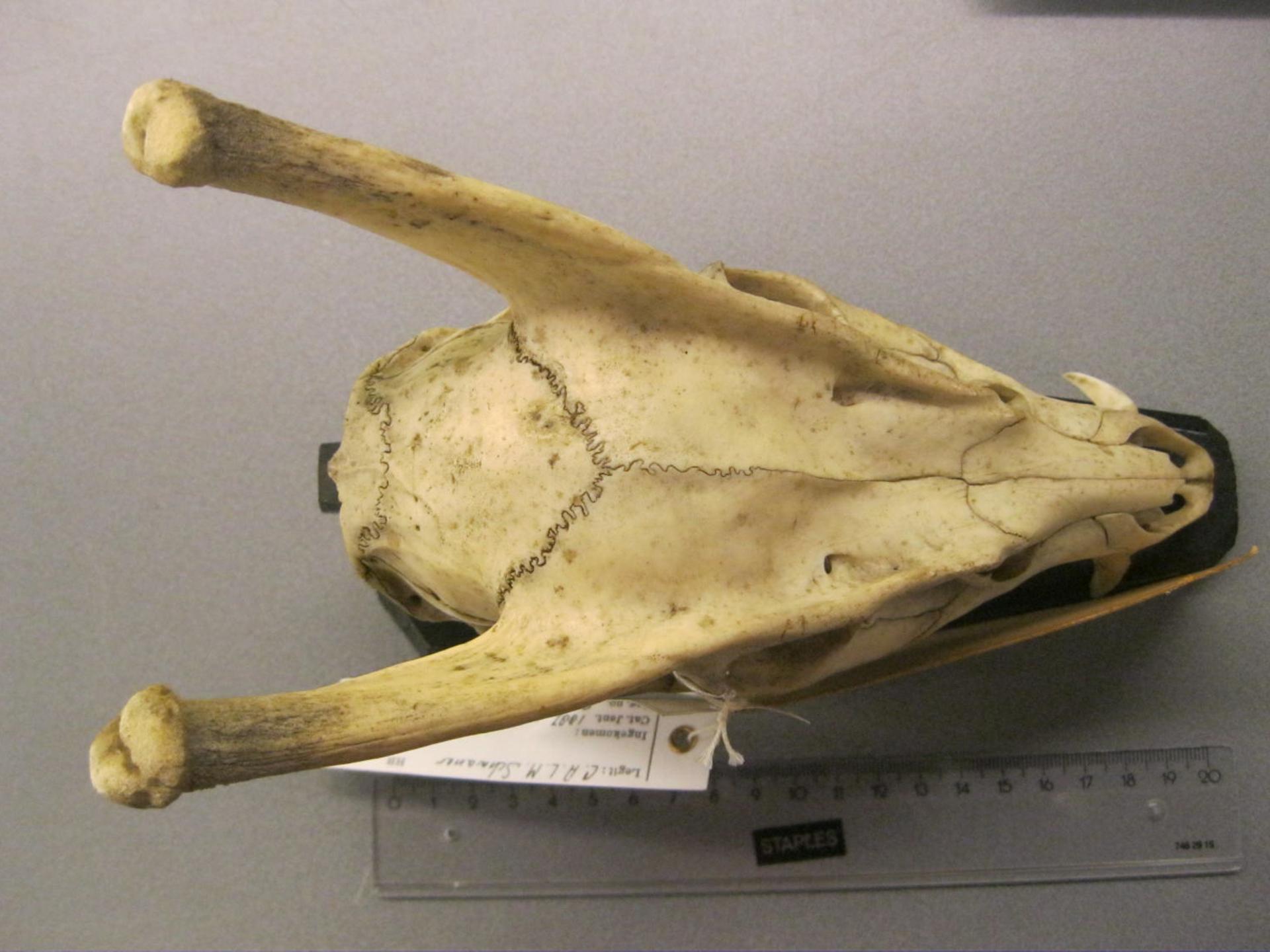 RMNH.MAM.29753 | Muntiacus muntjak Zimmermann, 1780