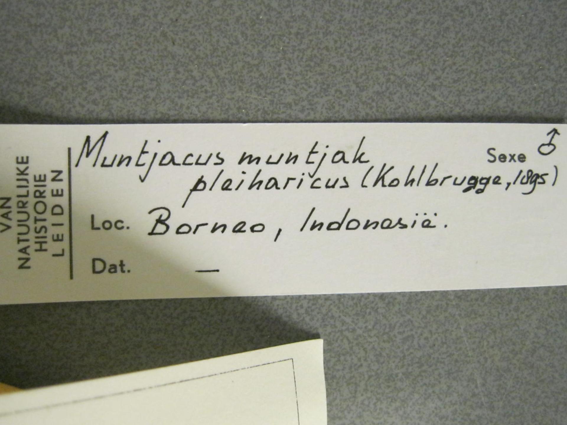 RMNH.MAM.29754.a | Muntiacus muntjak Zimmermann, 1780